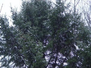 Snow falling on...eastern white pine.